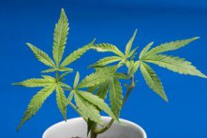大麻 違法